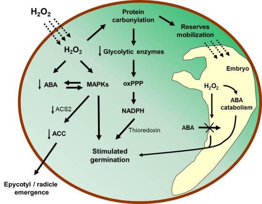 esquema modelo H2O2 guisante